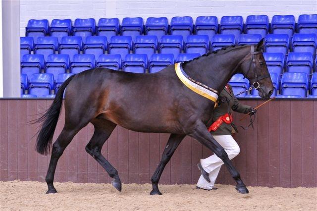 Thoroughbred mare Beseeka Dawn Fox (Roviris-Mandalus) - a high scoring mare at her grading